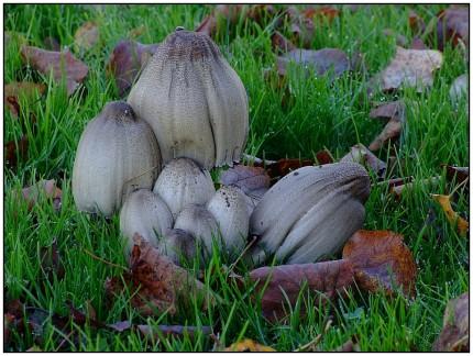 Der Gemeine/Graue Falten-Tintling oder kurz Falten-Tintling (Coprinopsis atramentaria, Syn. Coprinus atramentarius), aufgrund der knotigen Verdickung am unteren Stielende auch Knoten-Tintling genannt, ist eine Pilzart aus der Familie der Mürblingsverwandten (Psathyrellaceae). Der häufige Blätterpilz kommt in Parkanlagen, an Wegrändern sowie in Laubwäldern vor und ist in Europa weit verbreitet. Die Fruchtkörper sind vor dem tintenartigen Zerfließen des Huts und der Lamellen essbar, verursachen aber bei Alkoholgenuss eine Vergiftung (Coprinus-Syndrom).
