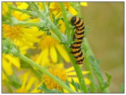 Die Falter erreichen eine Flügelspannweite von 32 bis 45 Millimetern. Man erkennt sie an den zwei roten Punkten und den langen roten Strichen am Flügelrand. Die Grundfarbe der Vorderflügel ist schwarz, während die Hinterflügel leuchtend rot gefärbt sind. Die Raupen werden ca. 30 Millimeter lang. Sie sind leuchtend gelb und schwarz geringelt. Ihr Kopf ist schwarz und sie haben wenige, sehr lange, weiße Haare. Um sich zu schützen, und auch um auf ihre Giftigkeit hinzuweisen, imitieren sie die typische schwarz-gelbe Warnfarbe der Wespen (Mimikry). Auf den Blütenständen des Jakobs-Greiskrauts sind sie durch ihre Färbung nur schwer zu erkennen.