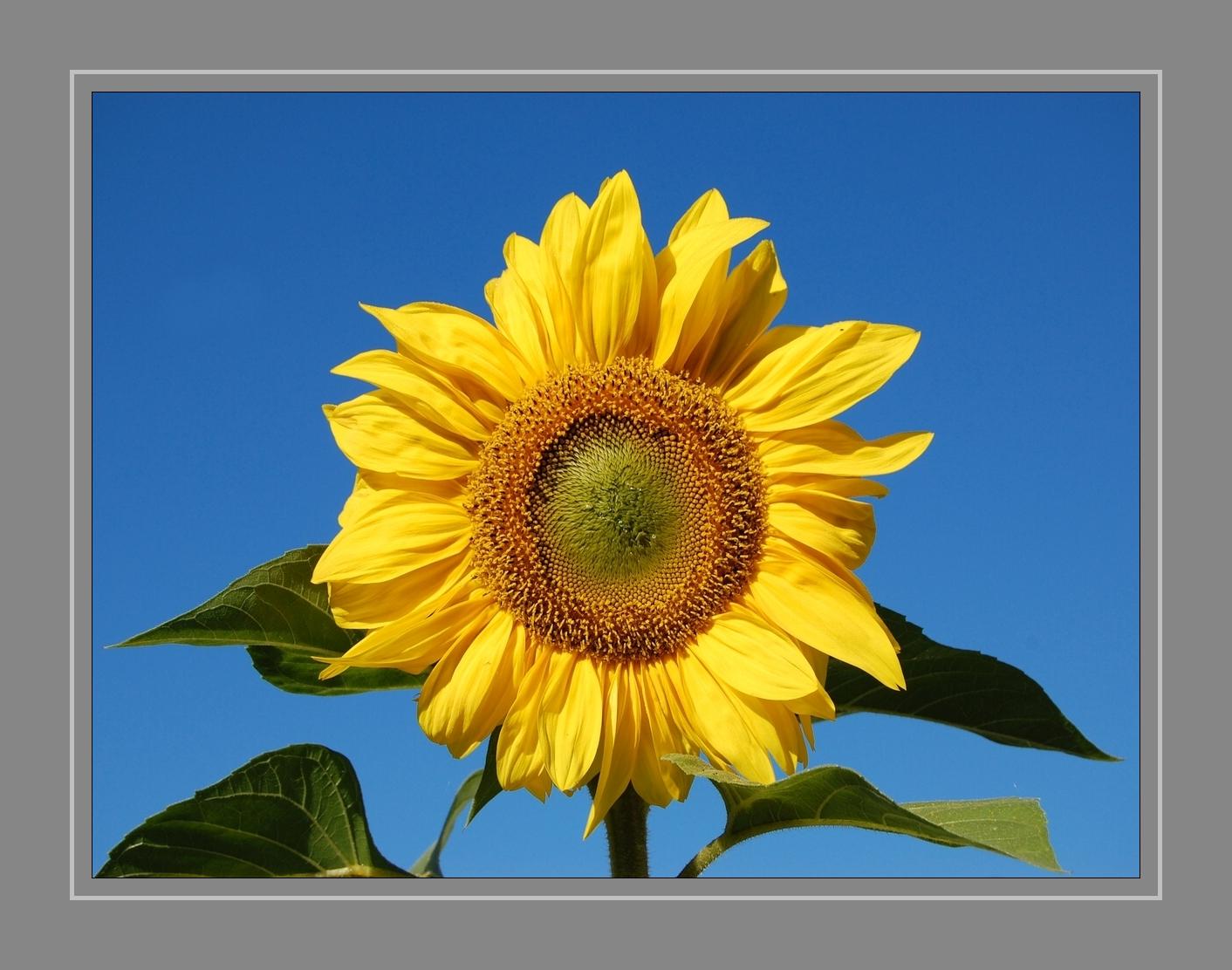 sonnenblume bedeutung die sonnenblume sprache der blumen garten die bedeutung der blumen