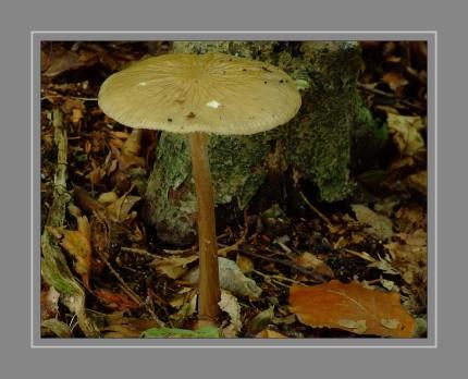 Grubiger oder Schleimiger Wurzelrübling, Wurzel- oder Wurzelnder Schleimrübling (Xerula radicata , syn. Oudemansiella radicata) ist ein Pilz aus der Familie der Rindenschwammverwandten (Physalacriaceae). Er wächst als Saprophyt in morschem, totem Laubholz, bevorzugt dem von Rotbuchen. Er fruktifiziert von Juni bis Oktober mit eher einzeln erscheinenden Fruchtkörpern an Baumstümpfen. Er ist essbar und wird als Speisepilz genutzt, wobei er als minderwertig angesehen wird und die Stiele aufgrund der Zähigkeit als nicht genießbar gelten.