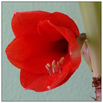 """Amaryllis ist eine Pflanzengattung aus der Familie der Amaryllisgewächse (Amaryllidaceae). Die nur zwei Arten sind in Winterregen-Gebieten des südlichen Afrika verbreitet. Bei der im Gartenhandel insbesondere zur Advents- und Weihnachtszeit verkauften """"Amaryllis"""" handelt es sich nach heutiger botanischer Systematik um die Gattung Hippeastrum (Rittersterne)."""