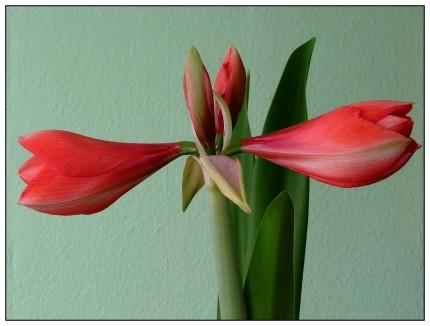 Amaryllis gehören zu den Riesen unter den Blüten. 28 Zentimeter Durchmesser können die Größten unter ihnen erreichen. Drei, vier, manchmal sogar sechs Blüten tragen sie auf einem kräftigen Stiel und leuchten in Rot und Weiß, Purpur, Orange und Grün. Sie beeindrucken mit einer Blühdauer von etwa 14 Tagen, sind sehr anspruchslos und vertragen sogar geheizte Zimmer.