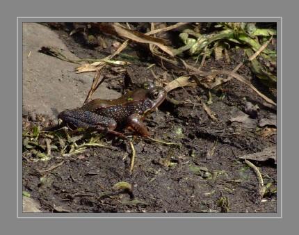 Der Grasfrosch gehört zu den sogenannten Braunfröschen, die die meiste Zeit ihres Lebens an Land bleiben. Der Grasfrosch geht nur zur Paarungszeit und zum Ablaichen ins Wasser. Paarungsbereite Männchen erkennt man an den Brunftschwielen der Finger, deutlich dickeren Vorderbeinen und einem blaugrauen Schimmer im Kehlbereich. Laichwillige Weibchen sind dicker und größer als die Männchen. Auf ihren Flanken ist ein deutlicher Laichausschlag zu erkennen. Die Eier haben sich im Körper der Weibchen bereits den Winter über gut entwickelt, sodass schon zum Frühjahrsanfang, wenn die Eisdecke mit den ersten wärmenden Sonnenstrahlen auftaut, mit dem Ablaichen begonnen wird.