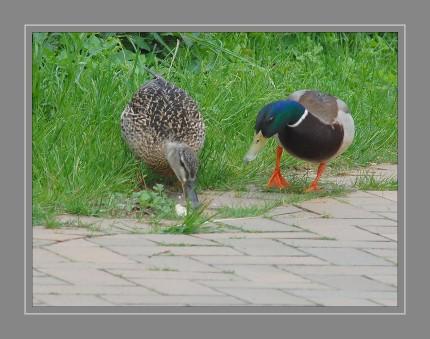 Die Stockente (Anas platyrhynchos) ist die größte und am weitesten verbreitete Ente bei uns in Deutschland. Sie zählt zu der Gattung Schwimmenten.