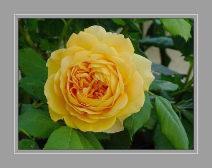Die Rosen (Rosa) sind die namensgebende Pflanzengattung der Familie der Rosengewächse (Rosaceae). Die Gattung umfasst je nach Auffassung zwischen 100 und 250 Arten. Diese bilden durch ihre typischen Merkmale Stacheln, Hagebutten und unpaarig gefiederte Blätter eine sehr gut abgegrenzte Gattung.