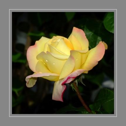 """Gärtnerisch wird zwischen Wildrosen und Kulturrosen unterschieden. Die Rose wird seit der griechischen Antike als """"Königin der Blumen"""" bezeichnet. Rosen werden seit mehr als 2000 Jahren als Zierpflanzen gezüchtet."""