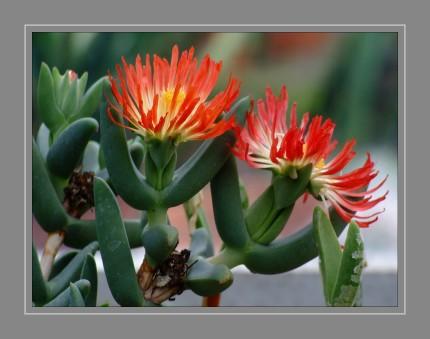 Sukkulente Pflanzen speichern Wasser in ihren Pflanzenteilen. Je nach dem Pflanzenorgan, das zur Wasserspeicherung umgebildet ist, wird zwischen Blatt-, Stamm- und Wurzelsukkulenten unterschieden, wobei alle Kombinationen möglich sind.