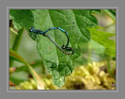 Bei der Paarung packen die Männchen die Weibchen mit ihren Hinterleibszangen (Cerci) unterhalb des Kopfes. Um die Befruchtung durchzuführen, bilden die beiden Libellen das sogenannte Paarungsrad. Dabei nimmt das Weibchen die Samen aus der Samentasche des Männchens. Auch die Eiablage erfolgt paarweise im Tandem. Bei dieser sitzt das Weibchen waagerecht und das Männchen ragt empor. Das Weibchen sticht die Eier mit ihrem Ovipositor in die Wasserpflanzen ein. Durch diese gemeinsame Eiablage verhindert das Männchen die Befruchtung des Weibchens durch Konkurrenten.