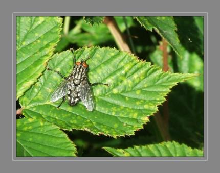 Die Graue Fleischfliege (Sarcophaga carnaria, auch: Aasfliege) ist eine Fliege aus der Familie der Fleischfliegen (Sarcophagidae). Die Fleischfliege (auch: Graue Fleischfliege) sieht optisch der Großen Stubenfliege ähnlich, ist jedoch dunkler, am Thorax mit dunkelgrauen Längsstreifen versehen und trägt deutlich erkennbare helle Flecken auf dem Körper. Sie haben eine Länge von etwa 13 bis 18mm. Ihre Augen sind rot gefärbt. Fleischfliegen halten sich vor allem an faulendem Fleisch und Dung auf, wo sie flüssige Stoffe zu sich nehmen. Die Fleischfliege beläuft dauernd allerlei unappetitliche Stoffe, was dazu führt, dass die Fliegen mit vielen Bakterien behaftet sind. Wenn sie anschließend auf Nahrungsmittel herumkriechen, verbreiten sie die Krankheitskeime. Zudem kann es zu einem Befall lebender Organismen mit den Fliegenlarven (Maden) kommen. Man spricht in diesem Zusammenhang von Myiasis oder Madenfraß.