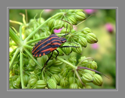 Die Streifenwanze (Graphosoma lineatum) ist eine Wanze aus der Familie der Baumwanzen . Sie tragen auf der Oberseite sechs schwarze Längsstreifen auf rotem oder gelbrotem Grund. Die Unterseite ist rot und trägt schwarze Punkte. Untypisch für Baumwanzen ist das Schildchen (Scutellum) sehr groß und überdeckt die gesamten Vorderflügel (Hemielytren). Die Fühler und Beine sind schwarz Sowohl die Nymphen, als auch die adulten Tiere sitzen meist auf ihren Nahrungspflanzen und saugen dort an den reifenden Samen.
