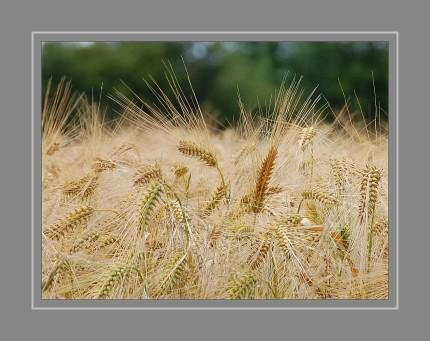 Gerste gedeiht am besten auf tiefgründigen, gut durchfeuchteten Böden. Aber auch mit ungünstigen Bedingungen kommt sie gut zurecht.  Beim Anbau wird zwischen Winter- und Sommergerste unterschieden. Wintergerste ist ertragreicher und wird im September gesät  Ein erheblicher Anteil der zweizeiligen Sommergerste dient der Biererzeugung (siehe  Malz), da deren Körner relativ wenig Eiweiß ( 65 %) enthalten. Der Gerste werden auch Heilwirkungen zugesprochen. Schösslinge wirken entwässernd und fiebersenkend.
