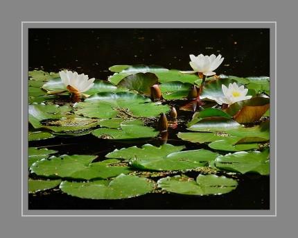 Seerosen-Arten sind selten Einjährige Pflanzen. Die meisten sind Ausdauernde Pflanzen und krautige Pflanzen. Diese Wasserpflanzen bilden langgestreckte oder knollenförmige Rhizome aus, mit denen sie im Schlamm von Flüssen, Teichen, Seen und anderen Gewässern verankert sind.