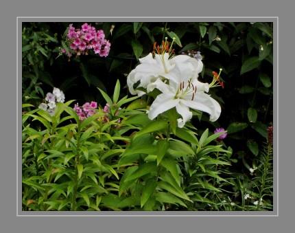 Lilien sind ausdauernde, aufrecht wachsende Zwiebelpflanzen mit oft auffälligen Blüten. Aufgrund ihres attraktiven Erscheinungsbilds wurden und werden sie in vielen Kulturen als Zierpflanzen geschätzt. Einige Arten zählen zu den ältesten Zierpflanzen überhaupt und fanden auch Verwendung als religiöse Symbole.