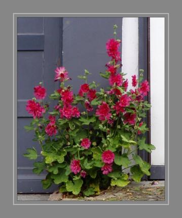 Arten und Sorten der Gattung Geranium werden mindestens seit dem 16. Jahrhundert als Zierpflanzen kultiviert und Arten und vor allem Sorten sind in zahllosen Gärten und Parks anzutreffen.A