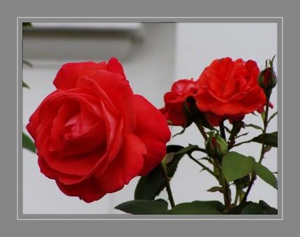 """Gärtnerisch wird zwischen Wildrosen und Kulturrosen unterschieden. Die Rose wird seit der griechischen Antike als """"Königin der Blumen"""" bezeichnet. Rosen werden seit mehr als 2000 Jahren als Zierpflanzen gezüchtet. Das aus den Kronblättern gewonnene Rosenöl ist ein wichtiger Grundstoff der Parfumindustrie."""