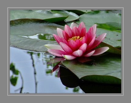 Die einzeln stehenden, zwittrigen Blüten sind schraubig aufgebaut und duften oft. Das Spektrum der Blütenfarben reicht von Weiß über Gelb und Rot bis Blau