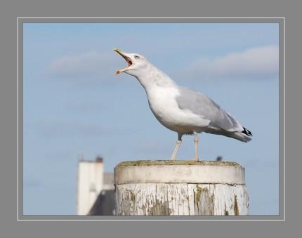 """Silbermöwen haben eine vielseitige Stimme und mannigfaltige miauende, lachende und bellende Rufe. Der häufige Hauptruf erwachsener Vögel ist ein helles, gellendes """"kiu"""". Es ist ein Warn- und Alarmruf. Auch einen heulenden Schrei (""""hü-ä-ä-ä-ä oder """"ija-a-a-a-) kann man häufig vernehmen, mit dem Silbermöwen auf Bodenfeinde losgehen."""