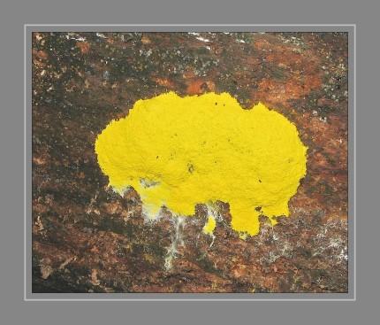 Die Gelbe Lohblüte oder Hexenbutter ist eine Schleimpilz-Art aus der Ordnung der Physarida. Sie ist häufig, weit verbreitet und meist von auffällig gelber Farbe