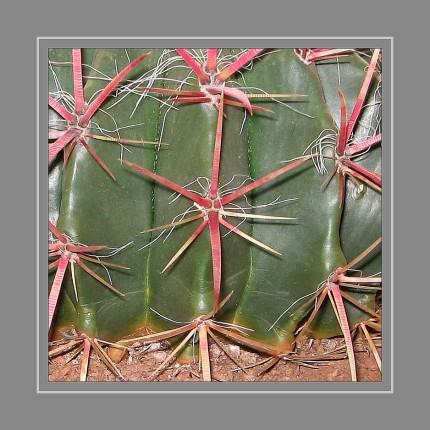 """Die Mehrzahl der auf Fensterbänken beliebten Pflanzen hat ihre Blätter zum Schutz in Dornen umgewandelt. Dornen wehren Feinde ab, schützen vor Verdunstung und liefern je nach Dichte auch noch Schatten. Die Dornen der Kakteen sind also nichts anderes als umgewandelte Blätter oder Organe. Rosen hingegen haben Stacheln. Diese sind botanisch als """"Auswüchse"""" der Epidermis, der äußeren Zellschicht von Sprossen und Blättern, definiert"""